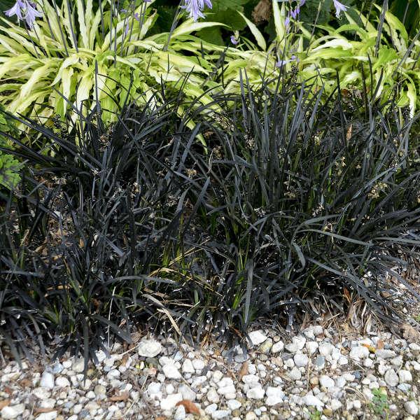 Ophiopogon Planiscapus Niger Walters Gardens Inc