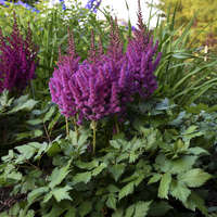 Astilbe 'Little Vision in Purple'