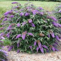 Buddleia 'Violet Cascade'