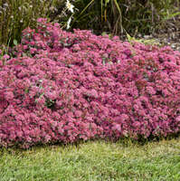 Sedum 'Superstar'