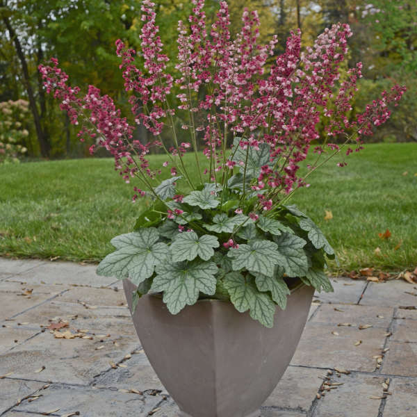 Heuchera 'Berry Timeless' Coral Bells