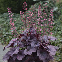 Heuchera 'Grape Timeless'