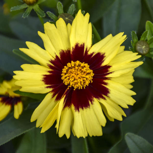 Coreopsis UPTICK&#8482 Yellow & Red Tickseed