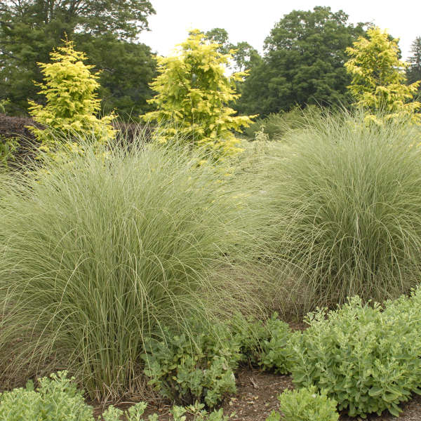Miscanthus 'Morning Light' Ornamental Grass