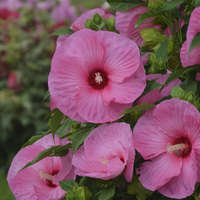 Hibiscus 'Pink Crush'