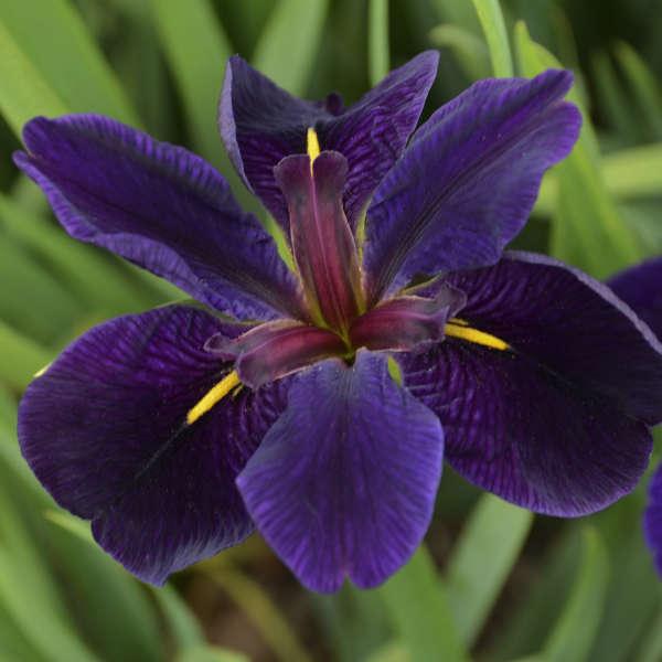 Iris 'Black Gamecock' Louisiana Iris