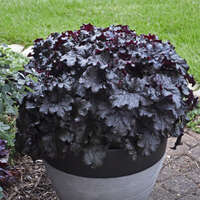 Heuchera 'Evening Gown'