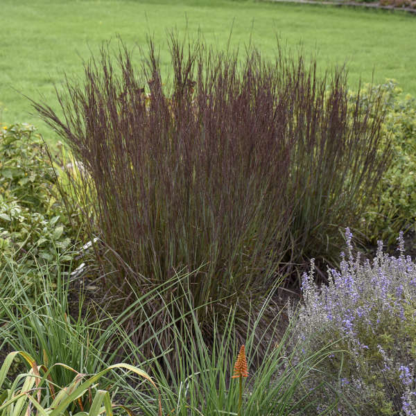 Schizachyrium 'Smoke Signal' Little Bluestem