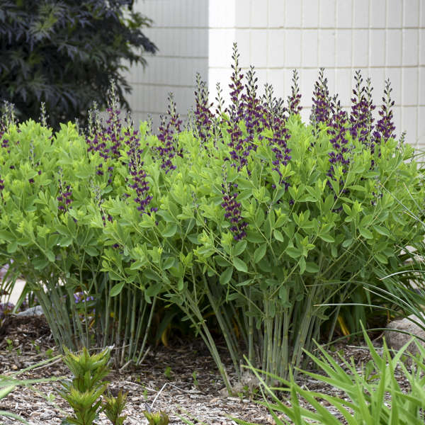 Baptisia 'Grape Taffy' False Indigo