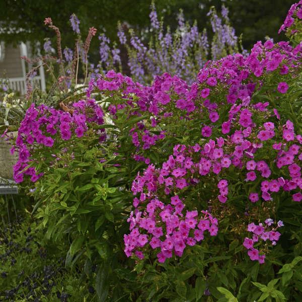 Phlox Paniculata Flame Series Pink Bartwelve Pp11804 Cpbr1094