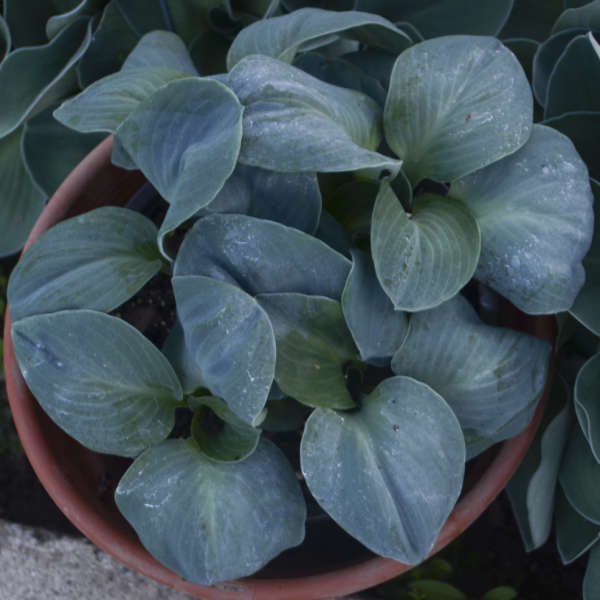 Hosta 'Blue Elf' Hosta
