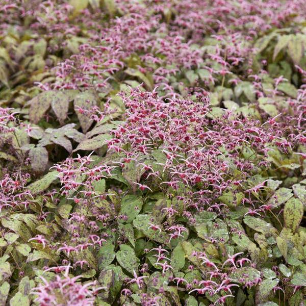 Epimedium 'Pink Champagne' Barrenwort