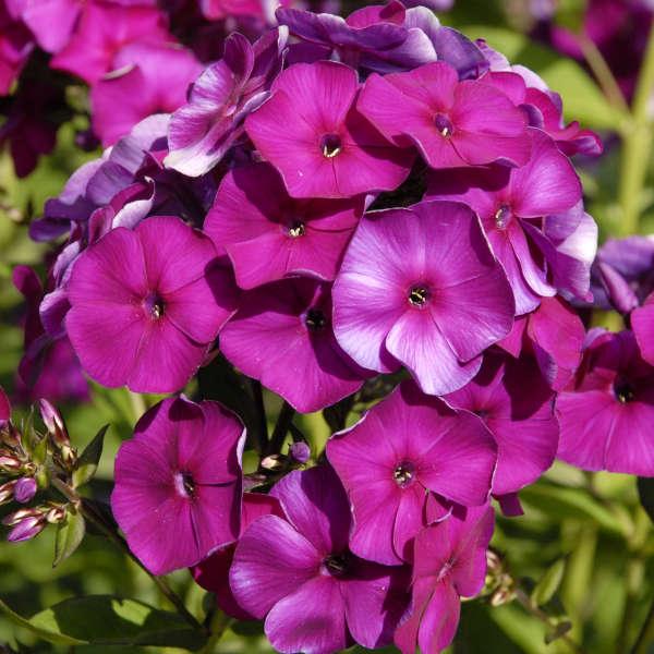 Phlox paniculata nicky walters gardens inc download images mightylinksfo