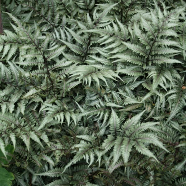 Athyrium 'Godzilla' Giant Japanese Painted Fern