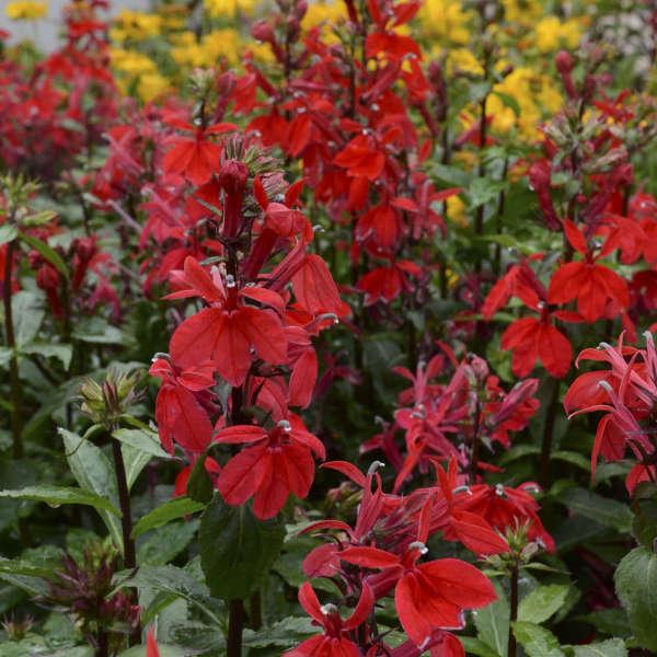 Lobelia 'Starship Scarlet' Cardinal Flower