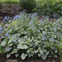 Brunnera 'Looking Glass'