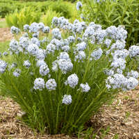 Amsonia 'String Theory'