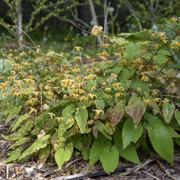 Epimedium 'Amber Queen' Barrenwort