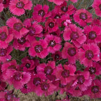 Dianthus 'Ruby Sparkles'