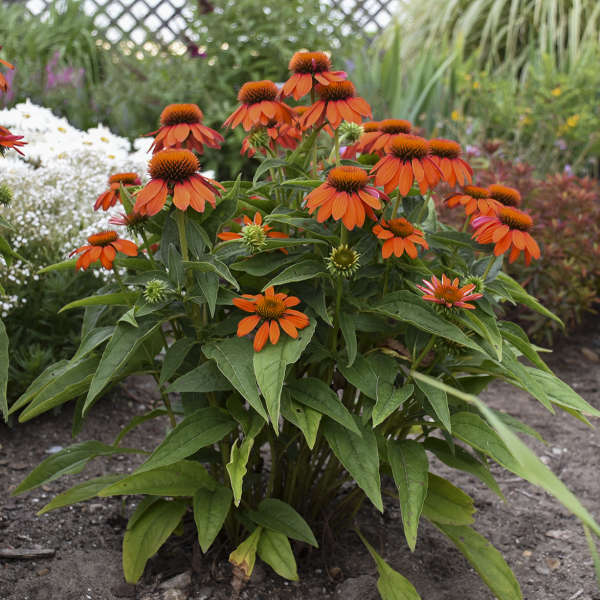 Echinacea SOMBRERO&#174 Adobe Orange Coneflower