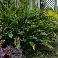 Hosta 'Praying Hands'