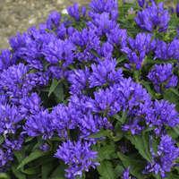 Campanula Genti Blue 'Allgentibl'