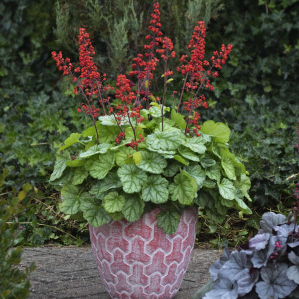 Heuchera 'Appletini' Coral Bells