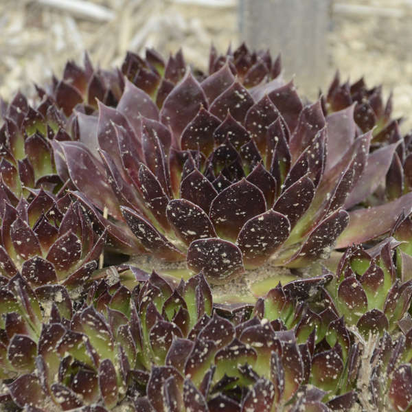 Sempervivum 'Black' Hen & Chicks