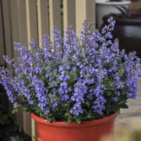 Nepeta 'Picture Purrfect'