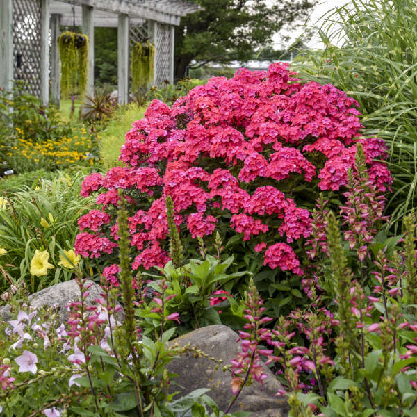 Phlox paniculata glamour girl pp25778 walters gardens inc download images mightylinksfo