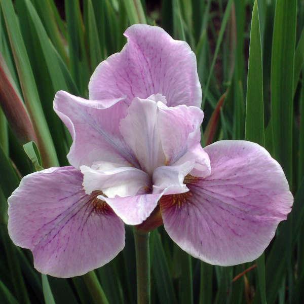 Iris 'Pink Haze' Siberian Iris