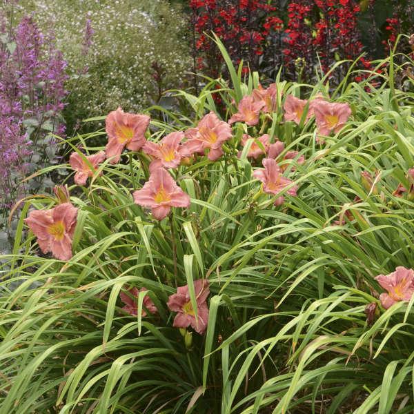 Hemerocallis 'Rosy Returns' Daylily