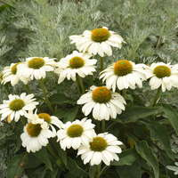 Echinacea 'The Price is White'