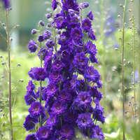 Delphinium 'Pagan Purples'