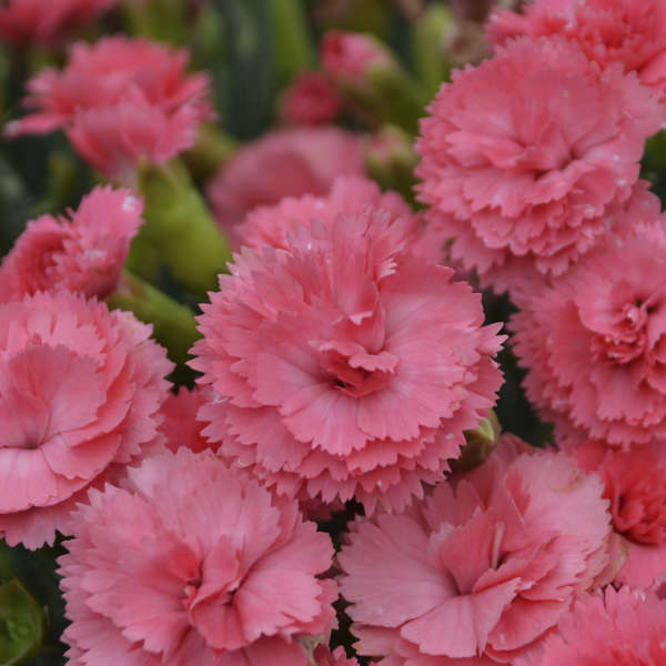 Dianthus 'Classic Coral' Pinks