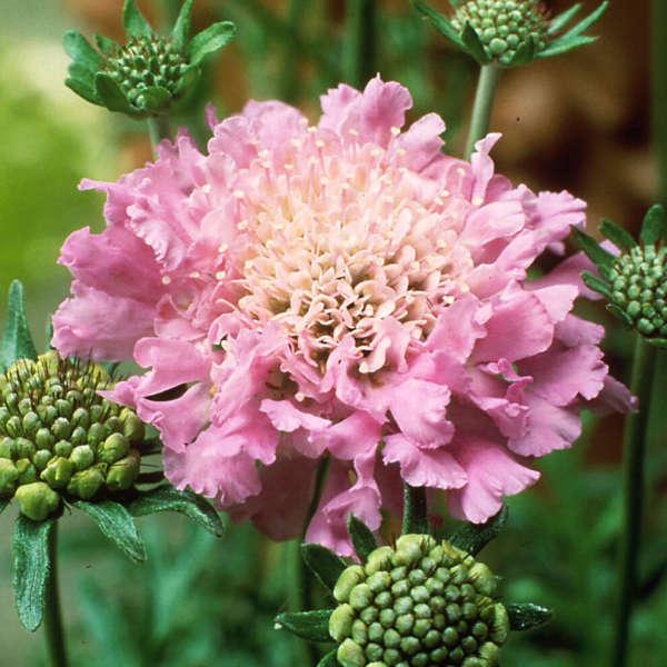 Scabiosa 'Pink Mist' Pincushion Flower