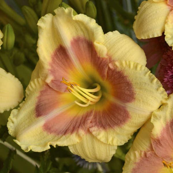 Hemerocallis 'When My Sweetheart Returns' Daylily