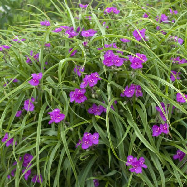 Tradescantia 'Red Cloud' Spiderwort