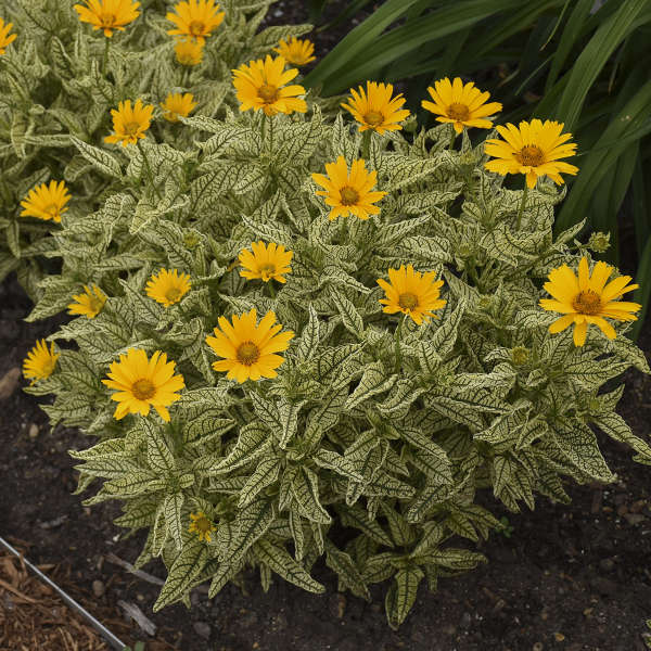 Heliopsis 'Sunstruck' False Sunflower