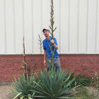 Yucca 'Pole Vaulter'