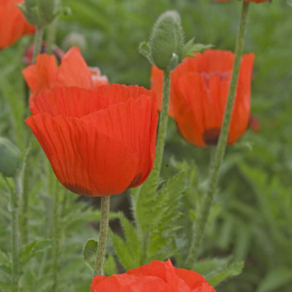 Papaver 'Prince of Orange' Oriental Poppy