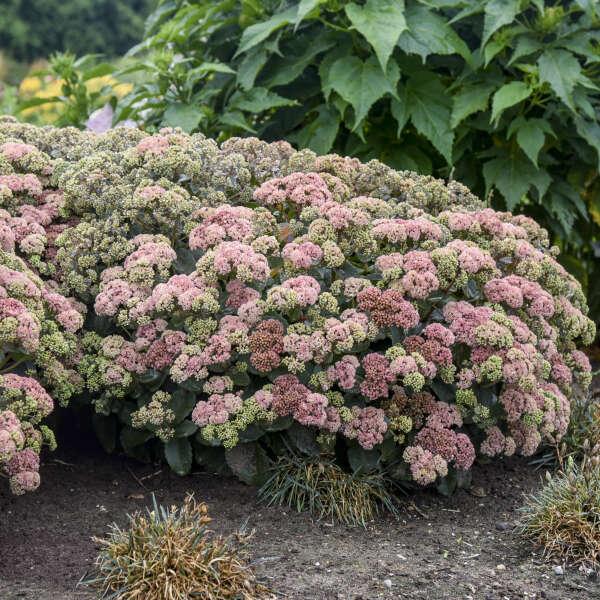 Sedum 'Coraljade' Stonecrop