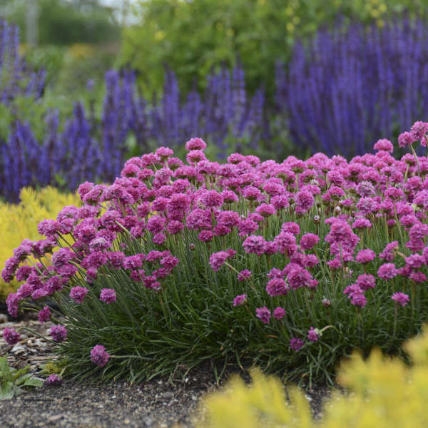 Armeria 'Bloodstone' Thrift