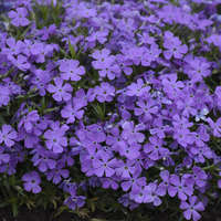 Phlox 'Crater Lake'