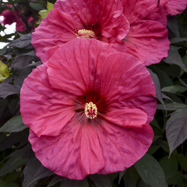 Hibiscus 'Evening Rose' Rose Mallow