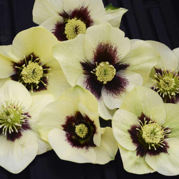 Helleborus 'Spanish Flare' Lenten Rose