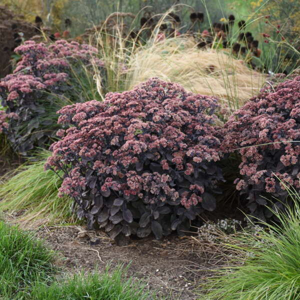 Sedum 'Back in Black' Stonecrop