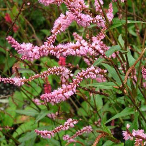 Persicaria 'Pink Elephant' Mountain Fleeceflower