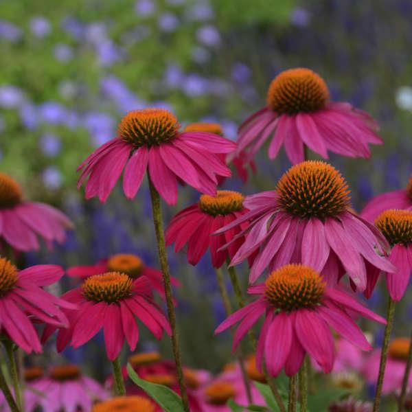 Echinacea 'PowWow Wild Berry' Purple Coneflower