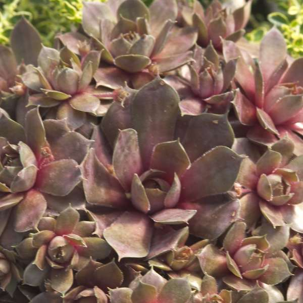 Sempervivum 'Silverine' Hen & Chicks
